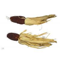 Кукуруза декоративная